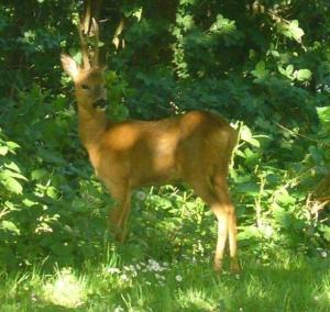 Muntjak deer spotted in the woods